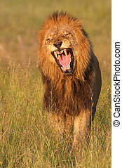 Lion panthera leo in savannah - Lion panthera leo looking...