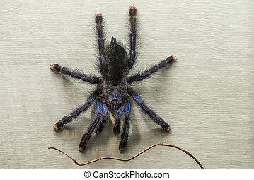 Whitetoe Tarantula - Poisonous tarantula in a terrarium