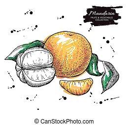 Vector hand drawn mandarin illustration. Artistic...