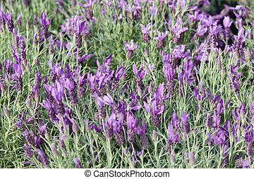 Lavender, Lavandula stoechas flowers background