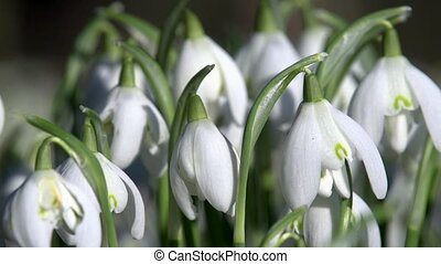snow drop in february
