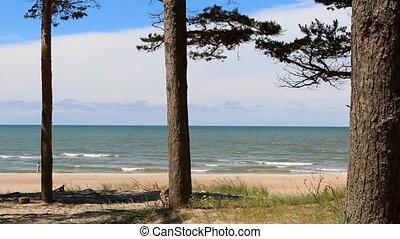 Pine trees on sunny seashore - Three pine trees on the sandy...