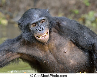 Bonobo standing in water looks for the fruit which fell in...