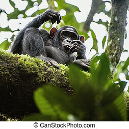 Close up portrait of chimpanzee Pan troglodytes resting on...