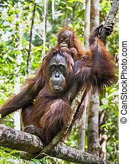 Mother and cub orangutan (Pongo pygmaeus). The close up...