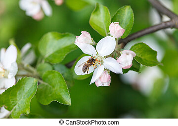 Bee insect pollinating apple tree flowers and collecting...