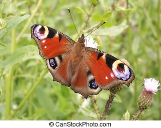 The flitting butterfly over a blossoming field