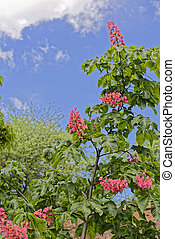 Pinkish chestnut flower on branch on blue sky background