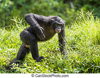 Running male Bonobo in natural habitat Green natural...