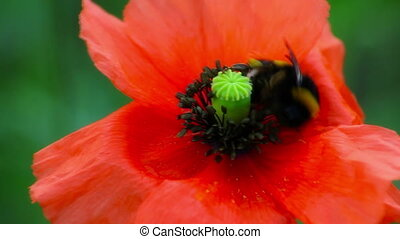 Red Blossom Bumble Bee - Red Flower Bumble Bee - background...