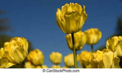 Yellow tulips against the sky - Flowerbed of yellow tulips...