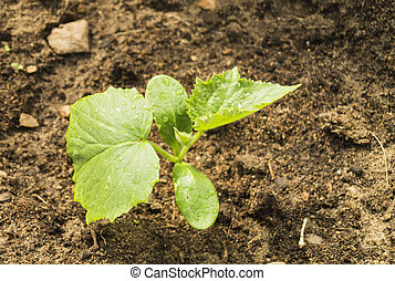 Green sprout cucumber on land - Green sprout with sheet...
