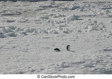 Two penguins in a middle of nowhere - Two little chinstrap...