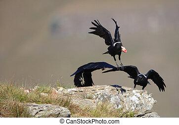 White-necked Ravens - Group of three White-necked Ravens...