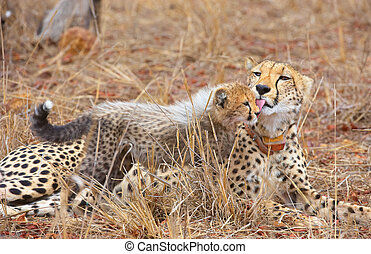 Cheetah Acinonyx jubatus cub with his mother lying in...