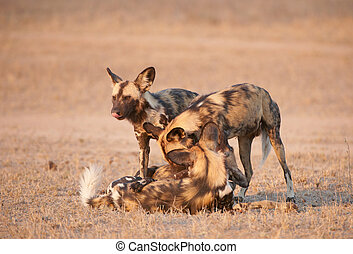 African Wild Dogs (Lycaon pictus) - Four African Wild Dogs...