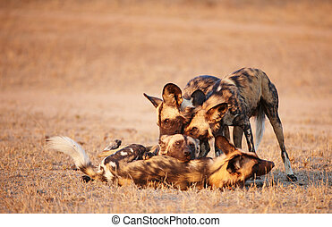 African Wild Dogs Lycaon pictus - Group of African Wild Dogs...
