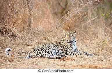 Leopard resting in savannah - Leopard (Panthera pardus)...