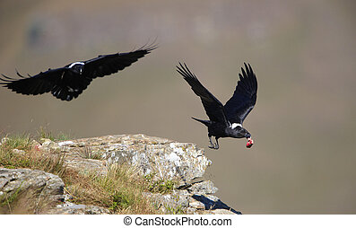 White-necked Ravens (Corvus albicollis) in flight in South...