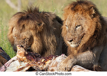 Two Lions panthera leo in savannah - Two male lions panthera...