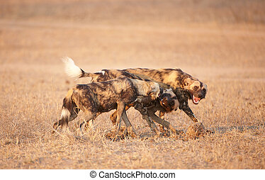 African Wild Dog Lycaon pictus - African Wild Dogs Lycaon...