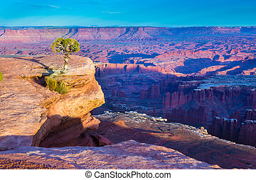 Conifer tree growing on the outcrop in Canyonlands National...
