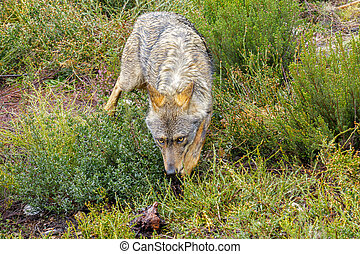 Closeup of wet Canis Lupus Signatus sniffing - Front view of...