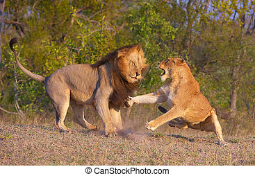 Lion (panthera leo) and lioness fighting as part of mating...