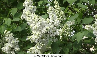 Lilac flower white color in spring morning
