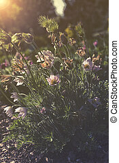 close up on Pulsatilla Vulgaris sunset or sunrise