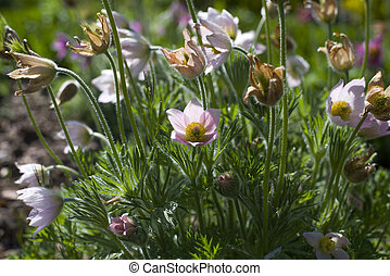 close up on Pulsatilla Vulgaris