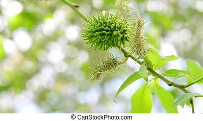 Ivas young leaves and catkins in spring - Ivas young leaves...
