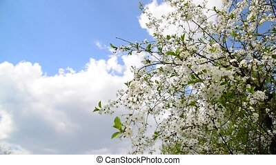 Blooming cherry on background of blue sky - Blooming cherry...