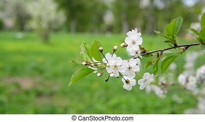 Cherry tree with white flowers in spring - Cherry tree with...
