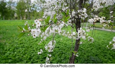 Cherry tree with white flowers in spring