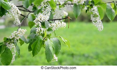 blooming bird cherry in spring in wind - blooming bird...