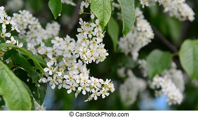 blooming bird cherry in  spring in  wind