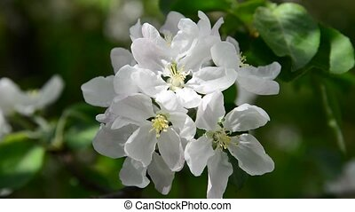 Apple orchard in bloom white flowers - Apple orchard in a...
