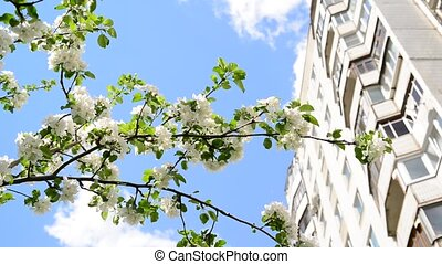 Branches of blossoming apple-tree on a background of multi-storey house