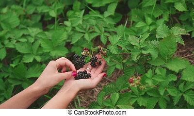 Large ripe blackberries