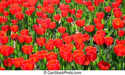 Many varietal red tulips on  flowerbed