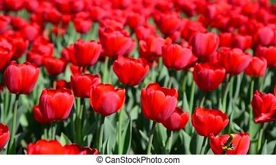 Many varietal red tulips on flowerbed - Many varietal red...