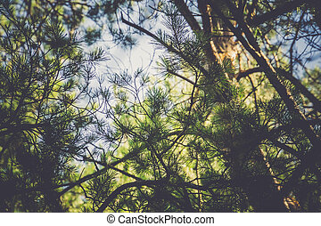 Pine Trees in the Morning Filtered - Pine trees in the...