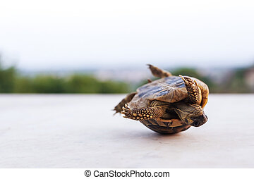 one rolling turtle - one small green turtle that lose...