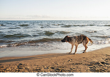 German Shepherd on the beach - German Shepherd is washed by...
