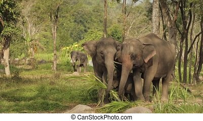Elephant in the wild - Elephant family eats grass in the...