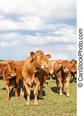 Limousin beef cow with two calves in a evening pasture facing the camera