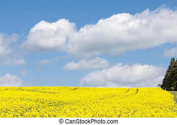 Yellow rape field, Brassica napus, under a cloudy blue sky -...