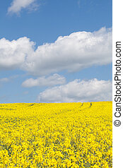 Colorful yellow rape field, Brassica napus, under a blue sky...