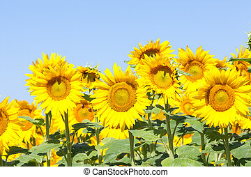 Bright yellow sunflowers or Helianthus against a sunny blue sky